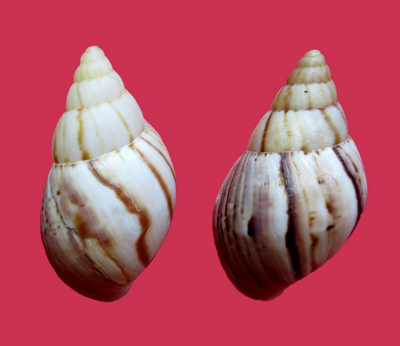 Achatina immaculata (Lamark, 1822) Achaimma10