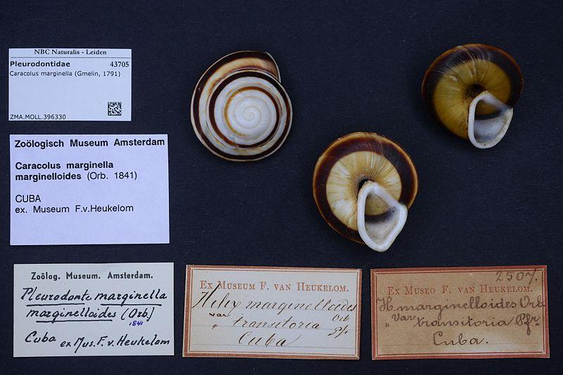 Caracolus marginella (Gmelin, 1791) Naturalis_Biodiversity_Center_-_ZMA.MOLL.396330_-_Caracolus_marginella_(Gmelin,_1791)_-_Pleurodontidae_-_Mollusc_shell.jpeg