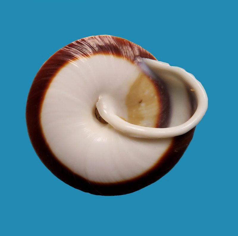 Caracolus marginella (Gmelin, 1791) Caramarg11