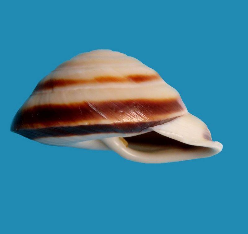 Caracolus marginella (Gmelin, 1791) Caramarg12