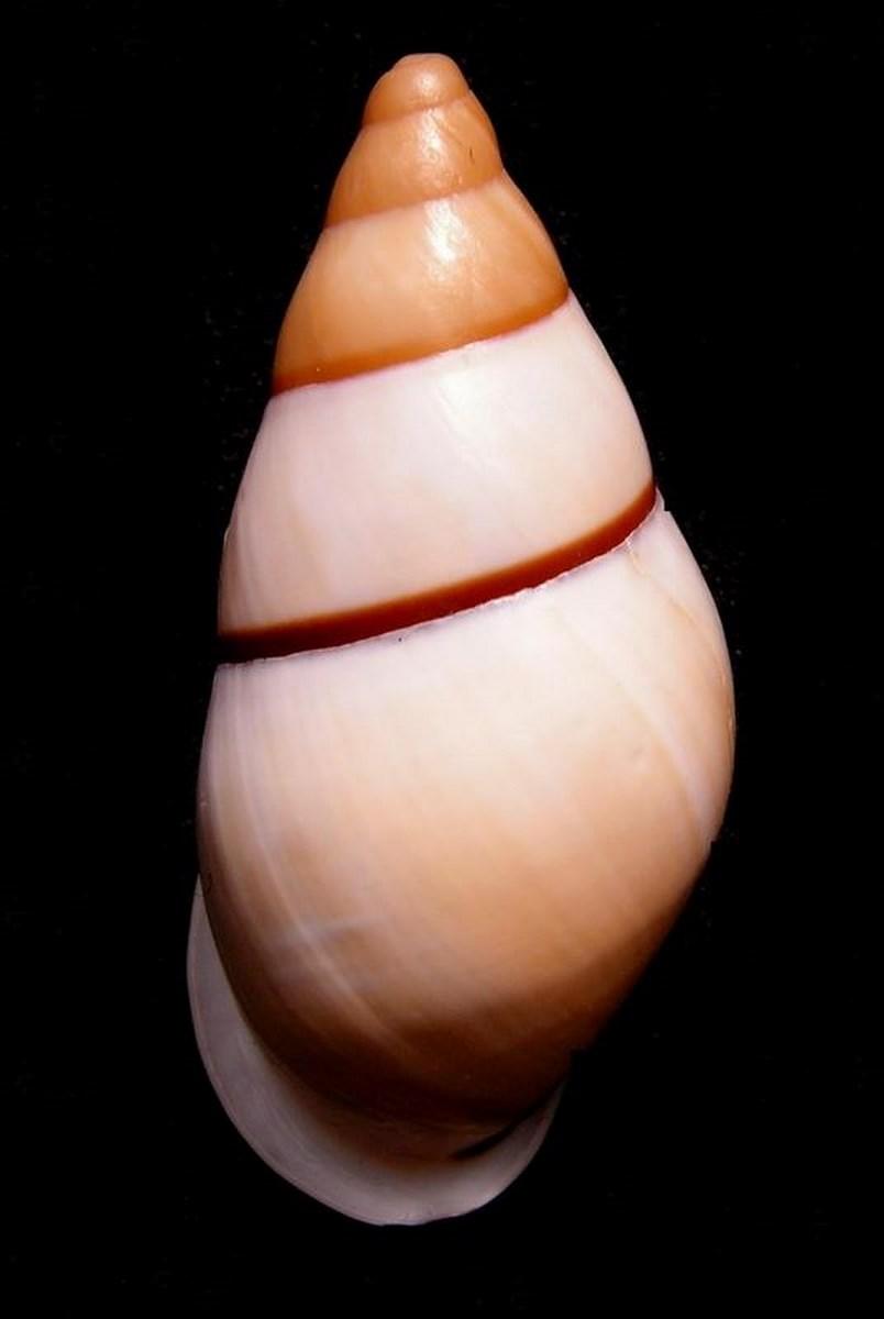 Chrysallis virgata dryas (Broderip, 1839) Chryvirg11