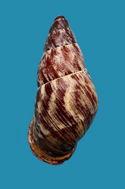 Chrysallis nigriceps (Bartsch, 1932) Chrynigr11