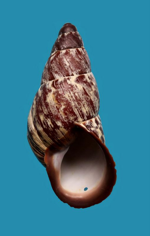 Chrysallis nigriceps (Bartsch, 1932) Chrynigr12