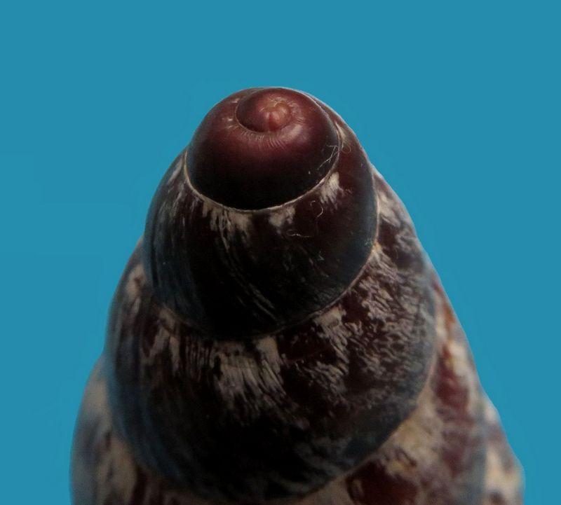 Chrysallis nigriceps (Bartsch, 1932) Chrynigr_0