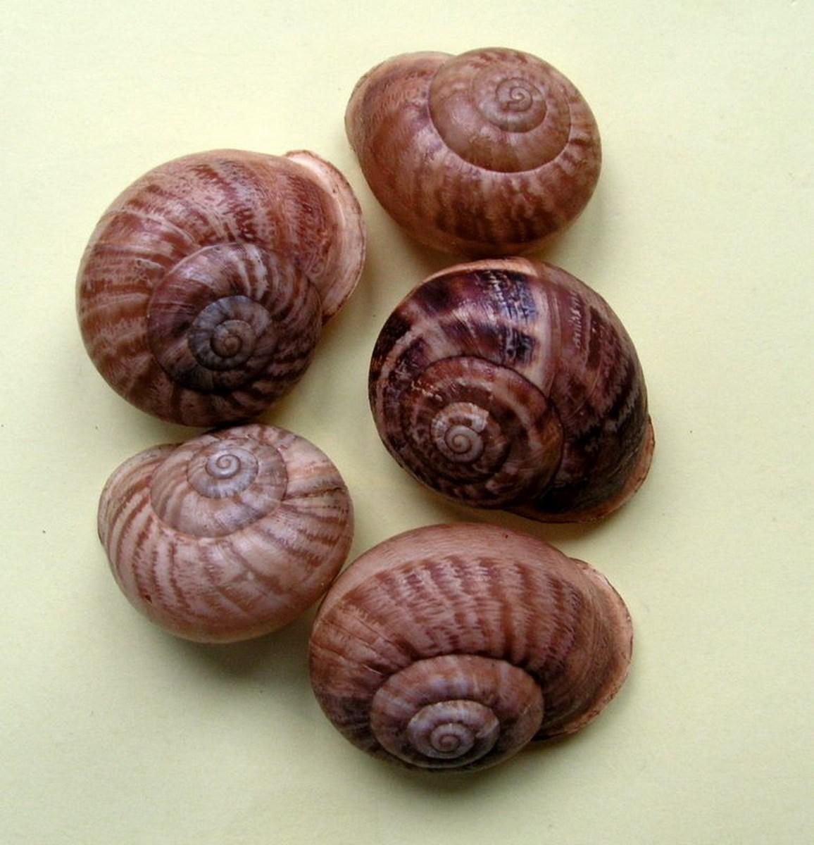 Eobania vermiculata (Müller, 1774) Eobver14
