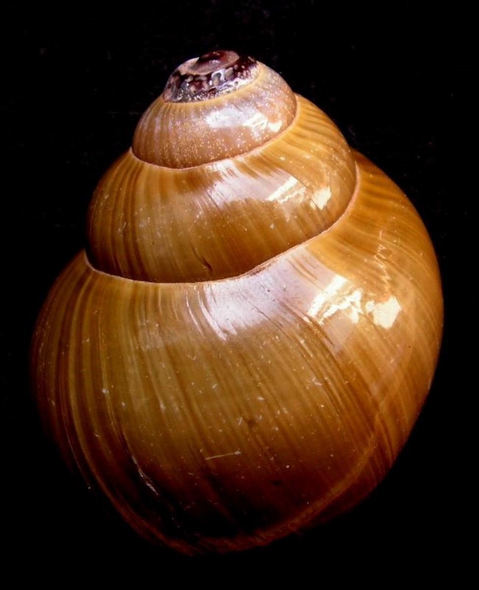Pomacea canaliculata - (Lamarck, 1822) - Page 3 Pilpol12