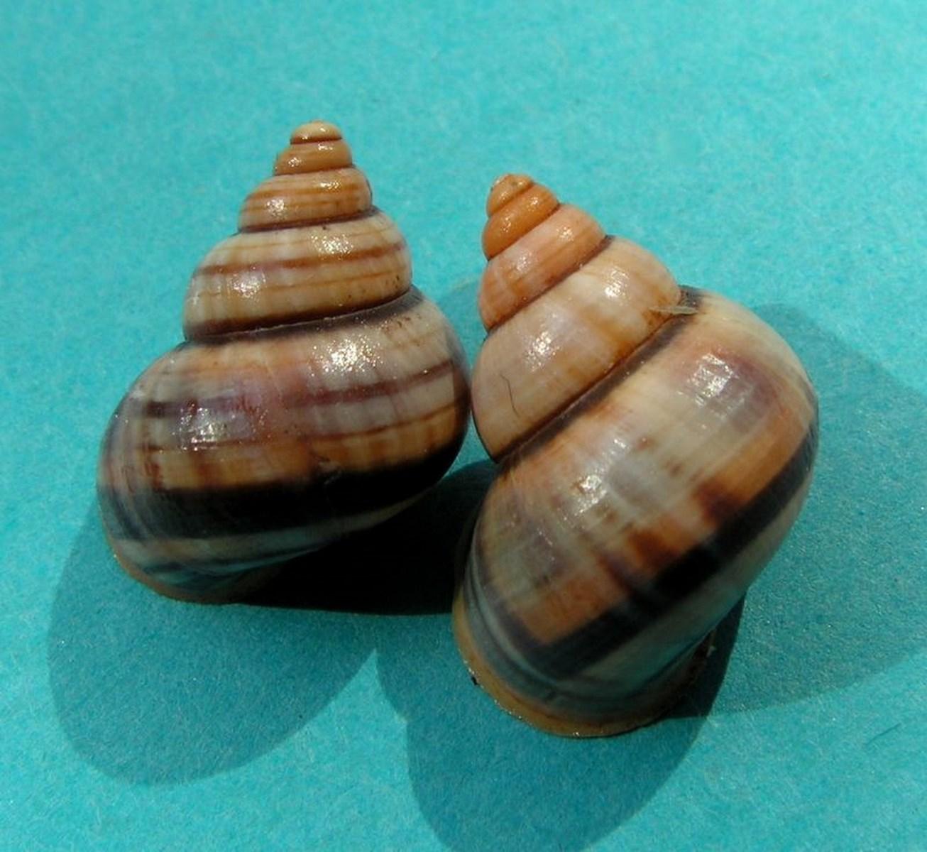 Tropidophora goudotiana (Sowerby, 1843) Tropgou10