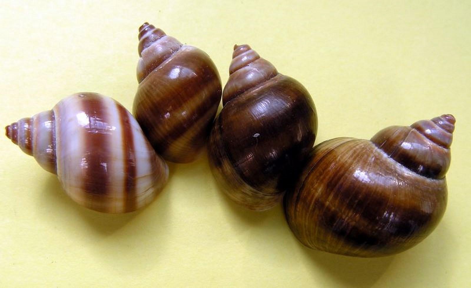 Balanocochlis glandiformis - (Schepman, 1896) à confirmer Vivivp10