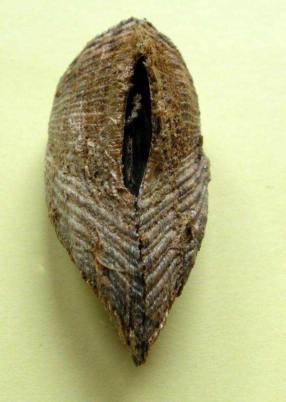Arca noae - Linnaeus, 1758  Arcnoa11