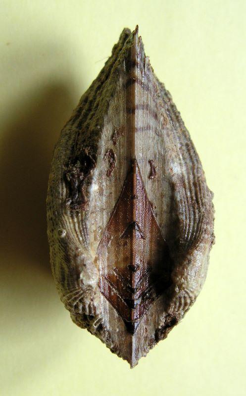 Arca noae - Linnaeus, 1758  Arcnoa12