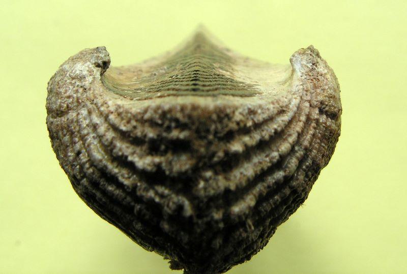 Arca noae - Linnaeus, 1758  Arcnoa_0