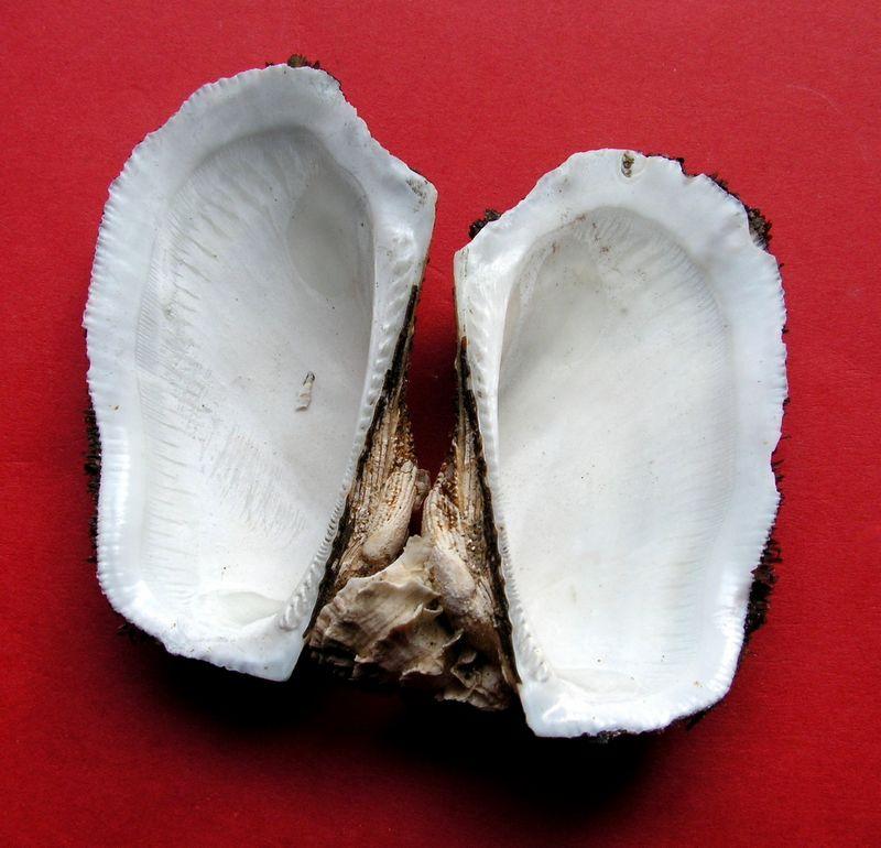 Barbatia barbata - (Linnaeus, 1758)  Barbarb15