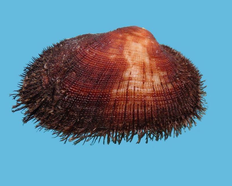 Barbatia barbata - (Linnaeus, 1758)  Barbarb18