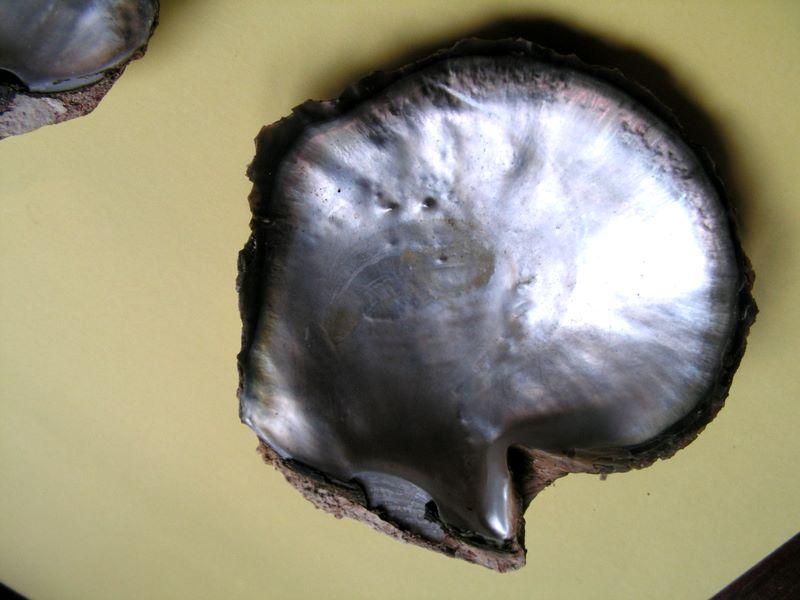 Pinctada mazatlanica - (Hanley, 1856)  Pincmaz14