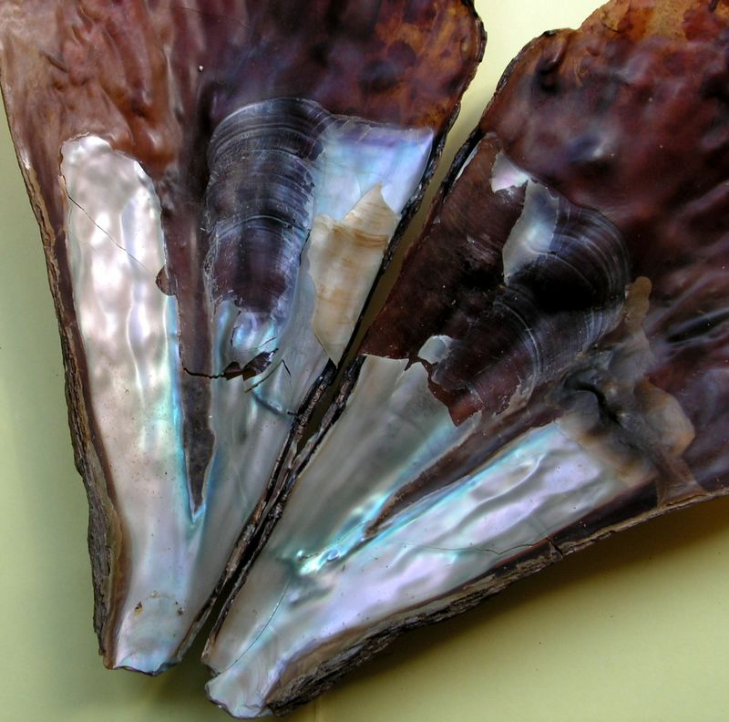[résolu]Pinna rudis Linné, 1758, Carnon Plage (34) Pinnrudi13